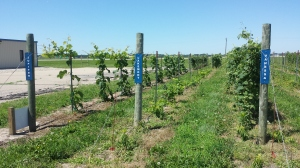 HCC Research Vineyard - June 19, 2015